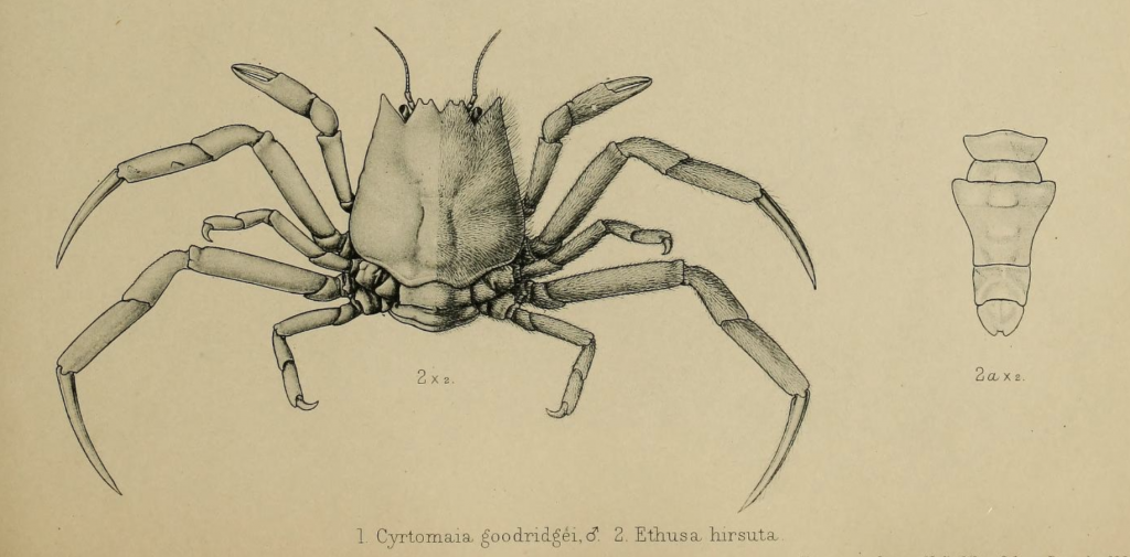 Zoology of the Royal Indian Marine Survey ship Investigator - Ethusa Hirsuta